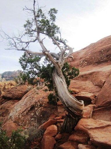 juniper tree cathedral rock sedona arizona